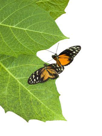Twee vlinders in een hofmakerij dansen over groene bladeren Stockfoto