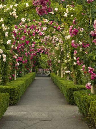 roses garden: Passage ornate with roses forming multiple archs  Stock Photo