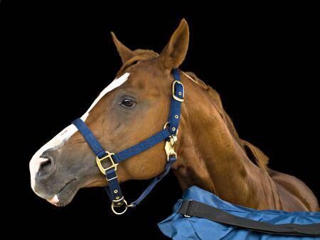 黒の背景上の茶色の馬頭の側面図