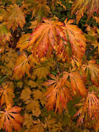 赤と黄色の秋色ポプラの葉
