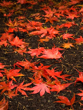 groundcover: Red fallen aspen leaves create autumn-colored groundcover Stock Photo