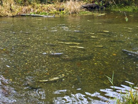 Salmons move up the river during their breeding season  Stok Fotoğraf