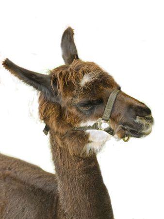 Marrone lama close-up, più del bianco  Archivio Fotografico - 2246775
