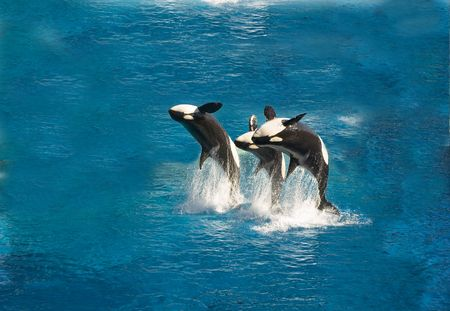 Three killer whales breaching out of the water
