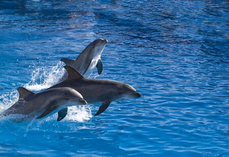 Three bottle-nosed dolphins jump out of the water Imagens