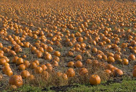 Field of orange pumpkins ripe for harvesting
