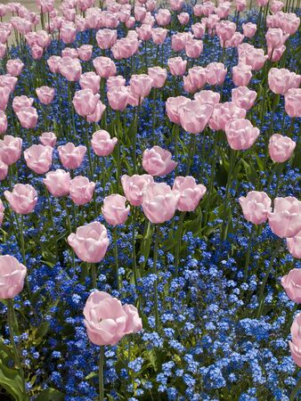 Pink Triumph tulips of Salmon Jewel kind blossom among forget-me-nots Banco de Imagens