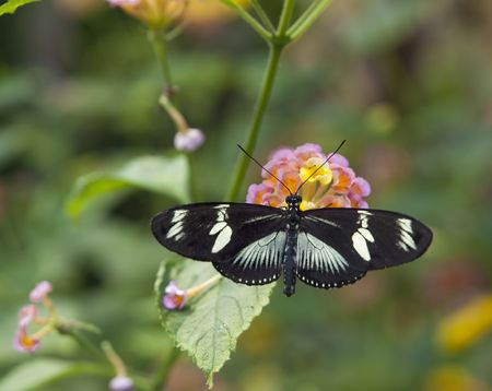 admiral: Butterfly White Admiral feeding on a flower