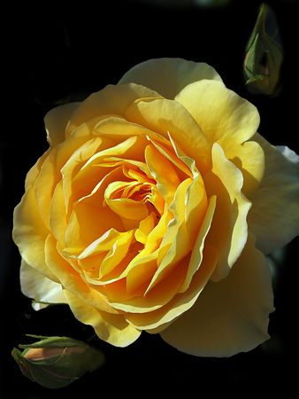 Yellow sunlit rose with two buds againist black background