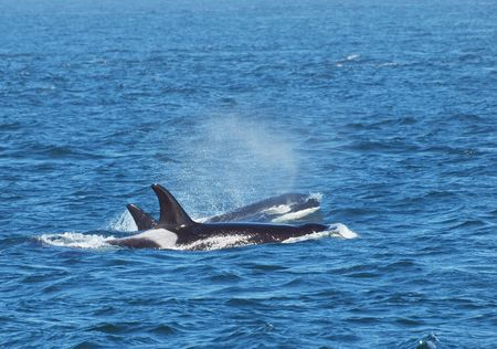 Pod of killer whales swimming in the ocean Stock Photo