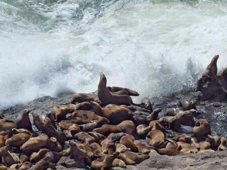 Large group of Steller sea lions basking on rocks Stock Photo - 7714099