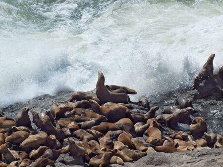 Large group of Steller sea lions basking on rocks Stock Photo - 7714099