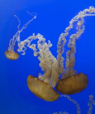 太平洋の海のイラクサのくらげ Chrysaora 以降を刺す