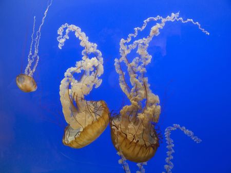 Stinging Pacific sea nettle jellyfish Chrysaora fuscescens