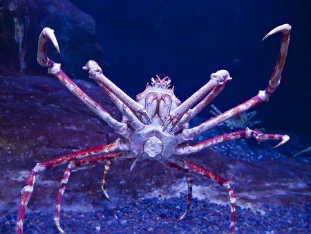 crustaceans: Giant Japanese spider crab, Macrocheira kaempferi