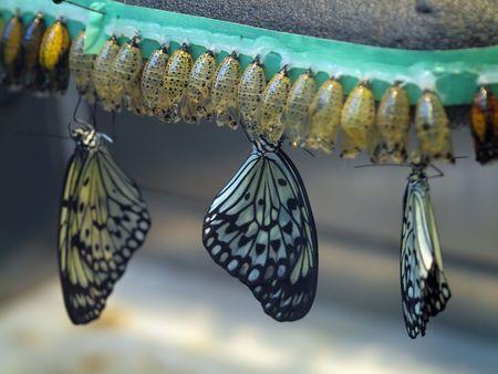 metamorfosis: Para incubar desde la coocoons en el criadero de mariposas  Foto de archivo