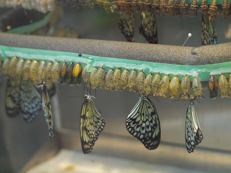 hatchery: Butterflies hatching from the coocoons in the hatchery