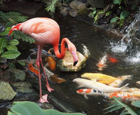 Flamingo in a water stream amidst lush greenery and Koi fish Stock Photo