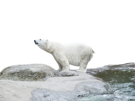 Polar bear stand on the rocks near the pond, isolated over white Stock Photo - 8273159