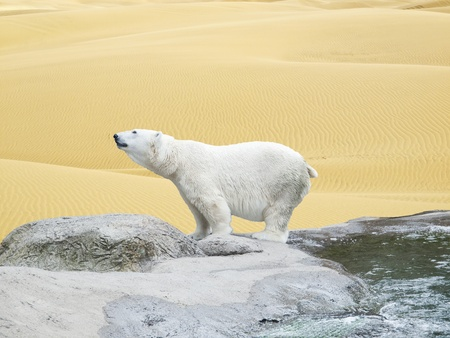 Polar bear stand on the rocks amidst desert sands, symbolizing climate change Stock Photo