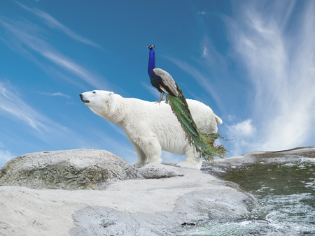 Peacock sits on a polar bear, symbolizing species migration caused by climate change 스톡 콘텐츠