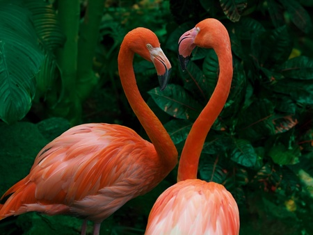 Pair of flamingo create heart shape with their necks in Valentine-themed image photo