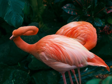 Two flamingos against a dark-green foliage