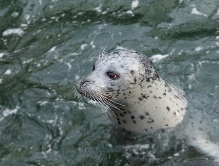 pinniped: Harbour Seal (Phoca vitulina) pokes his head out of the water