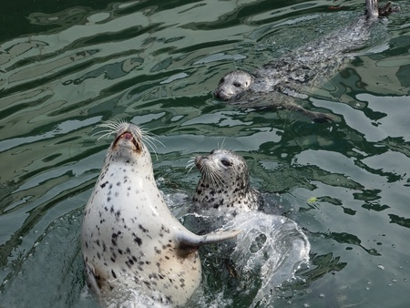 pinniped: Three Harbour Seals (Phoca vitulina) poke their heads out of the water