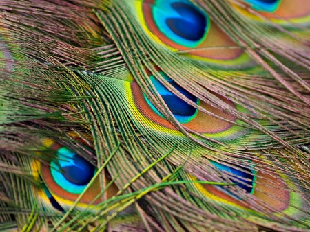 Male peacock feather close-up creates colorful background Stock Photo