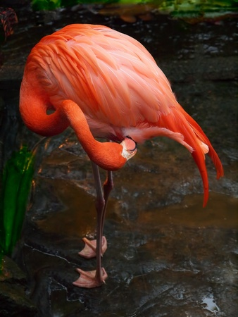 Pink flamingo cleaning his feathers 版權商用圖片 - 9343820