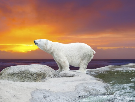 Polar bear stands on the rocks near the pond against dramaric sunset