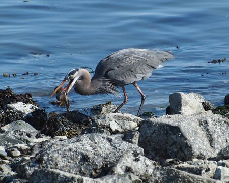 herodias: Great Blue Heorn (Ardea herodias) with caught fish in the beak Stock Photo