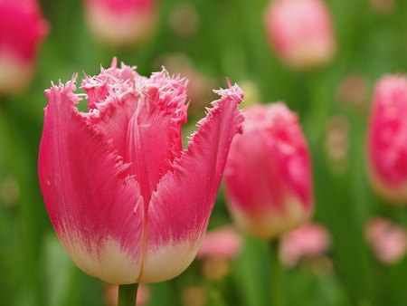 Pink fringed Fancy Frills  tulip blossoming on the flowerbed