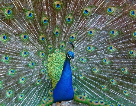 Male peacock displaying fully opened colorful tail during mating season photo