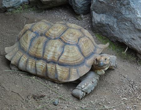 spurred: African spurred tortoise (Geochelone Sulcata)