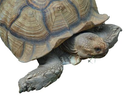 African spurred tortoise (Geochelone Sulcata) isolated over whiote Stock fotó