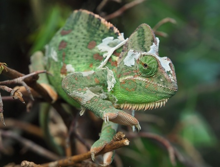 Chameleon (Chamaeleonidae) climbing on the branches
