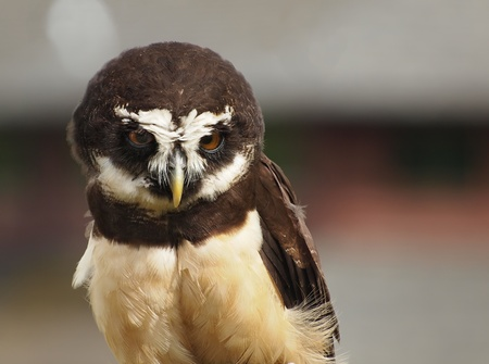 spectacled: Spectacled owl (Pulsatrix perspicillata) close-up