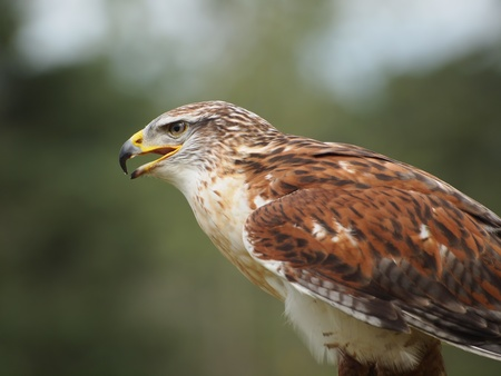 Broad-winded Hawk (Buteo platypterus) photo