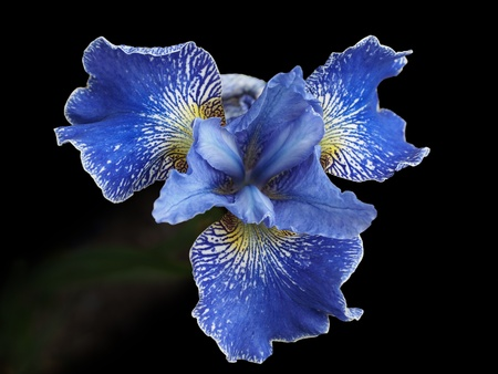 Blue iris with yellow pattern, against black background