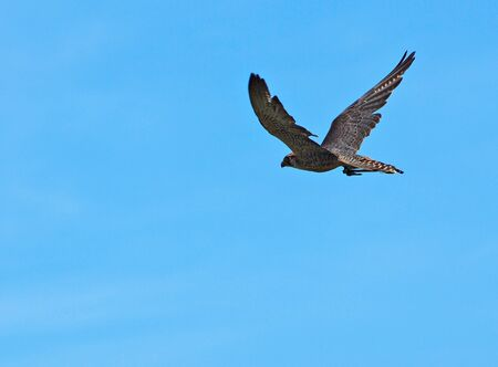 falco peregrinus: Peregrine Falcon in flight, against the blue sky background Stock Photo