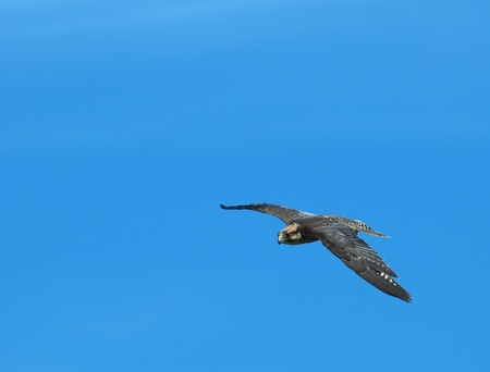falconidae: Peregrine Falcon in flight, against the blue sky background Stock Photo