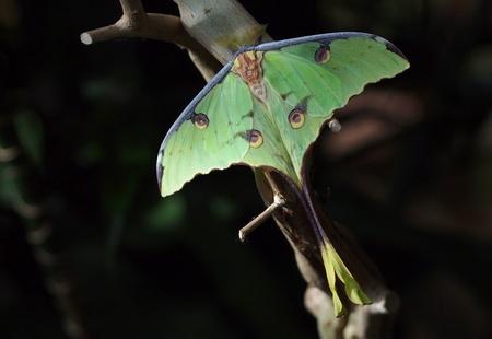 African Moon Moth (Argema mimosae) sitting on a tree branch