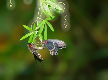 Pair of swallowtail butterflies in a mating ritual photo