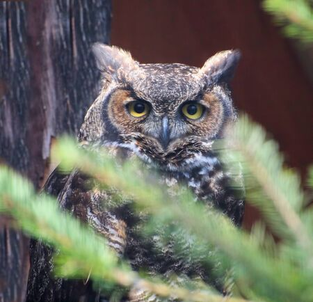 Great Horned Owl (Bubo virginianus) in the tree branches photo