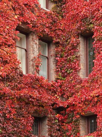 Corner windows of a caste covered with autumn-colored English Ivy photo
