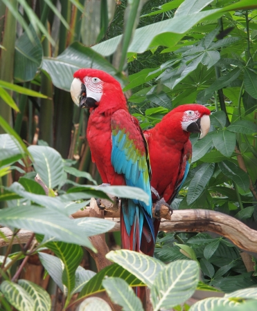 portrait orientation: Couple of Green Winged Macaws  Ara chloropterus  amidst lush greenery, portrait orientation