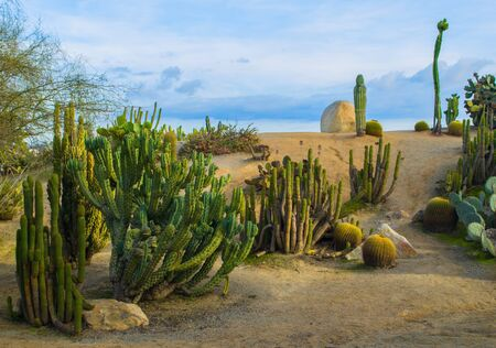 cactus desert: Various cactuces against a blue sky in Southern California