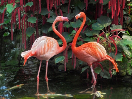 Flamingo couple facing each other standing in pond with coi fish